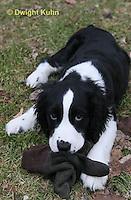 SH25-658z English Springer Spaniels puppy