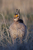 Lesser Prairie-Chicken, Tympanuchus pallidicinctus, male on lek displaying, Canadian, Panhandle, Texas, USA
