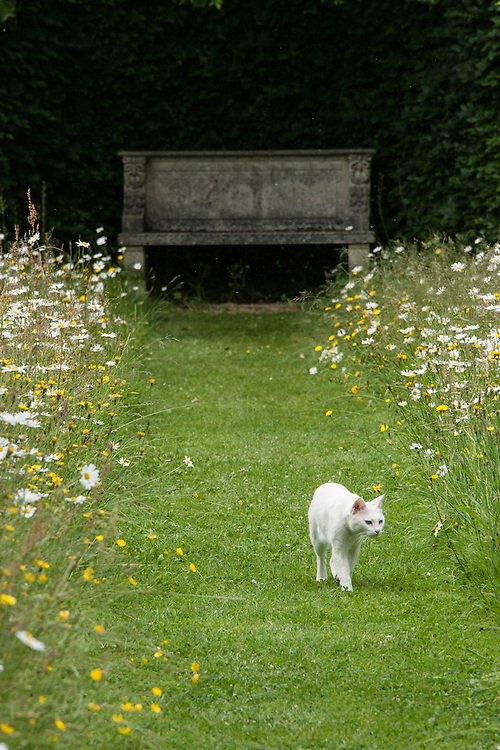 White cat and stone seat in wildflower meadow planting of Ox-eye daisies, Clinton Lodge Garden, Fletching, East Sussex, mid June.