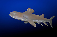 Stethacanthus sp., an extinct, prehistoric shark species, lived 370 to 345 million years ago during Carboniferous - Devonian period, model, digital composite