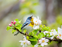 northern parula, Setophaga americana, warbler singing perched in springtime flowering apple tree, Nova Scotia, Canada