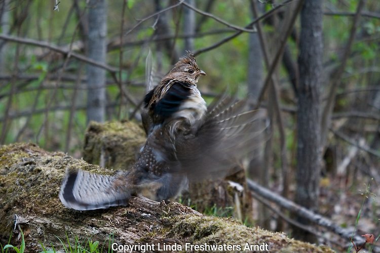 Ruffed grouse (Bonasa umbellus) drumming his wings to attract mate
