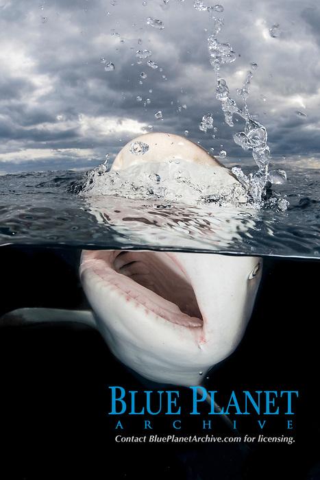 Caribbean Reef Shark, Carcharhinus perezi. Over under, split frame, Tiger Beach, Little Bahama Bank, Bahamas.