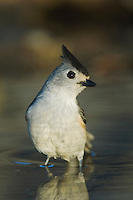 Black-crested Titmouse, Baeolophus atricristatus, adult bathing, Uvalde County, Hill Country, Texas, USA