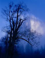 Silhouetted oak and El Capitan in lifting fog, El Capitan Meadow, Yosemite Valley,Mist