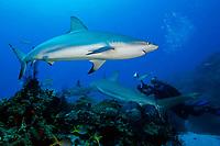 Caribbean reef sharks, Carcharhinus perezii, and woman scuba diver, West End, Bahamas, Atlantic Ocean
