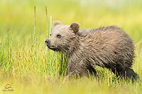 Brown Bear (Ursus arctos) spring cub stalks in sibling in a display of play-fighting.  Lake Clark National Park, Alaska.