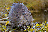 North American Beaver (Castor canadensis) eating aspen tree leaves.  Northern Rockies,  Fall.