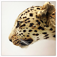 A stuffed leopard on display in the Natural History Museum in Beijing, China.