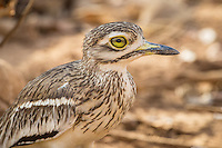 Indian Thick Knee in Sasan Gir Forest, Gujarat, India