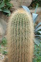 Cactus Echinopsis tarijensis