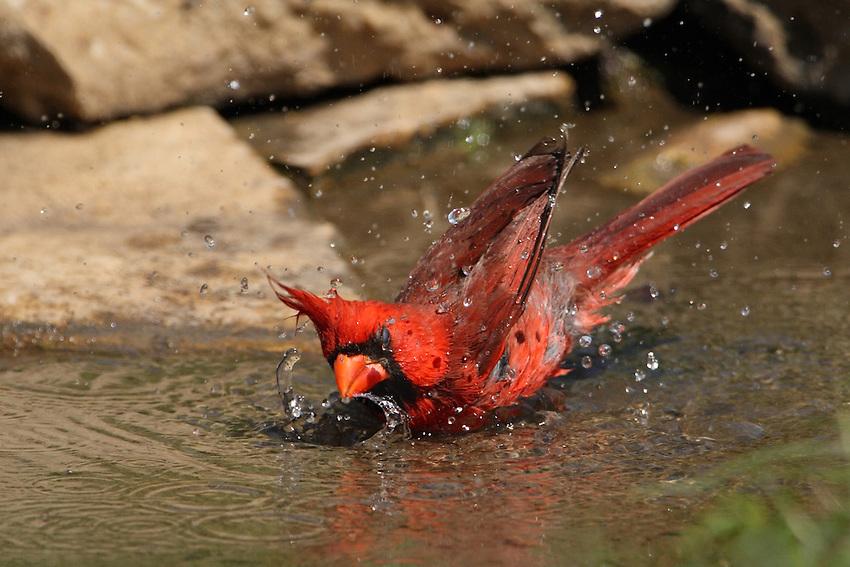 Northern Cardinal experiencing the joy of bathing - Makes ya wanna be a bird!
