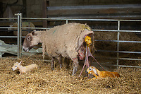 2-3-2021 Ewe giving birth <br />  ©Tim Scrivener Photographer 07850 303986<br />      ....Covering Agriculture In The UK....