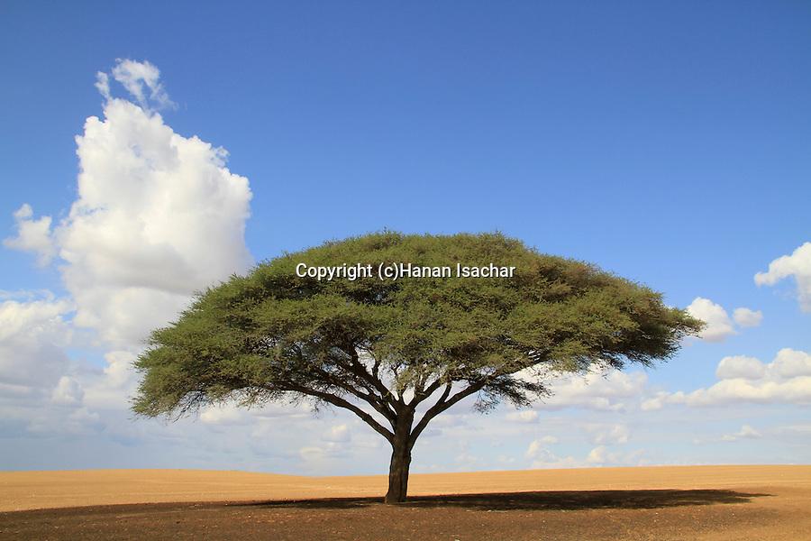 Israel, Acacia raddiana in the Northern Negev