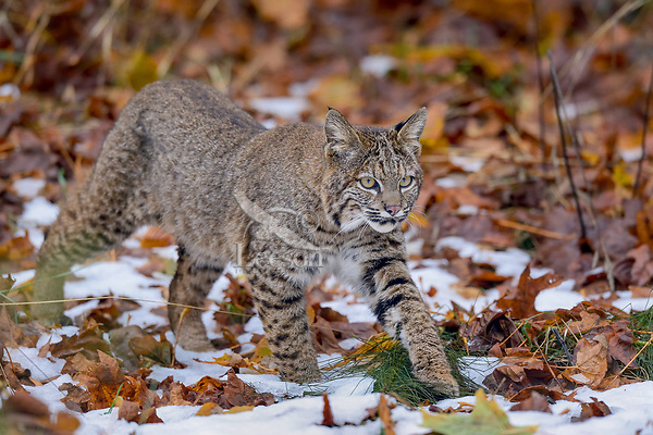 Wild Bobcat (Lynx rufus) walking through fallen bigleaf maple tree leaves and old snow.  Olympic National Park, WA.  November.  (Completely wild, non-captive cat.)