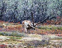 Caribou AK