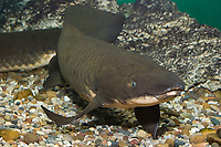 Australian Lungfish (Neoceratodus forsteri) A very ancient fish with the ability to breath with gills or by gulping air. Can live to over 70 years. (c) (do)