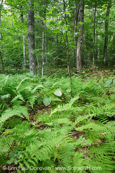 Hardwood forest along the Sabbaday Brook Trail in the White Mountains, New Hampshire USA.