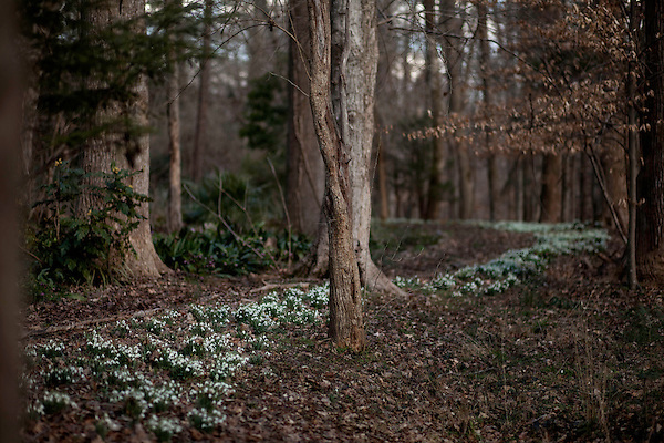 February 2, 2012. Hillsborough, NC..  Flowering snow drops line the many twisting paths that run through the wooded areas of the property..  Nancy Goodwin, who used to run a mail order nursery for rare bulbs, has now preserved her gardens, which in winter, have thousands of blooming flowers and plants, including many rare species which she has cultivated and planted from seeds.