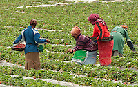 Harvesting of strawberries in the wine country of South Africa is a colorful sight. Local women handpick the ripe fruit, which is destined for local consumption, and export to Europe.