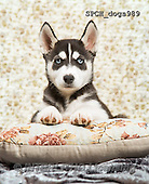 Xavier, ANIMALS, REALISTISCHE TIERE, ANIMALES REALISTICOS, dogs, photos+++++,SPCHDOGS989,#A#