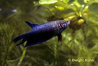 BY09-002z  Siamese Fighting Fish - female - Betta splendens