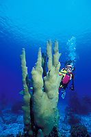 diver and pillar coral, Dendrogyra cylindrus, Turks and Caicos, Caribbean, (Western Atlantic Ocean) MR 161