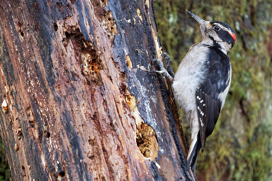 Male hairy woodpecker (Leuconotopicus villosus) clinging to standing rotting tree, Queets River Rain Forest, Olympic National Park, Jefferson County, Washington, USA