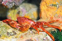 grapsoid crab, Plagusia dentipes, Grapsidae, Shikine-jima island, Tokyo, Japan, Pacific Ocean