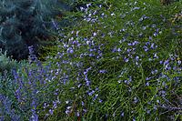 Eremophila 'Summertime Blue' flowering Australian hybrid Emu shrub; South Coast Research and Extension Center; University of California ANR