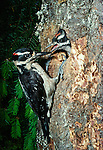 Hairy woodpecker and chick, Alaska