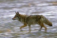 Coyote (Canis latrans).  Hayden Valley, Yellowstone National Park, Wyoming.