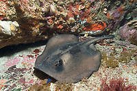 Striped stingaree, Trygonoptera ovalis, next to a colorful sponge encrusted ledge. Albany, Western Australia, Southern Ocean Also called Oval stingaree.