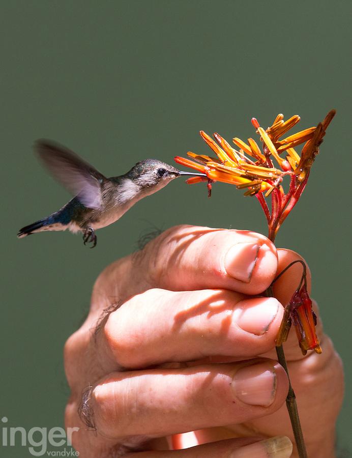 The World's Smallest Bird - The Bee Hummingbird - at Palpite, Playa Larga, Cuba