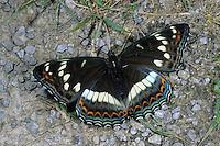 Großer Eisvogel, Weibchen, Limenitis populi, poplar admiral, female, Le Grand sylvain, Nymphale du peuplier, Edelfalter, Nymphalidae