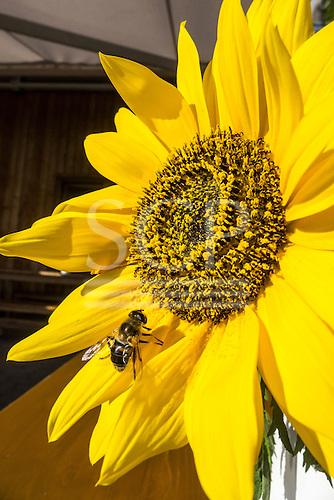 Switzerland. Sunflower and bee.