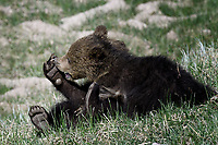 Grizzly Cubs tussle, Yellowstone