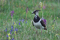 Northern Lapwing, Vanellus vanellus, adult in marsh, National Park Lake Neusiedl, Burgenland, Austria, April 2007