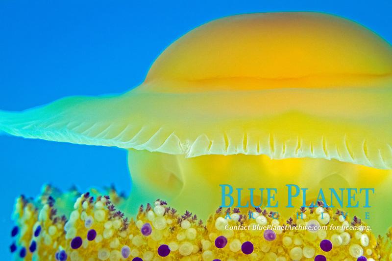 fried egg jellyfish, cotylorhiza tuberculata, Aegean sea, Mediterranean