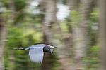 Damon, Texas; a little blue heron flying above the slough in early morning overcast light