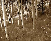 Aspen grove, Cripple Creek, CO. Cripple Creek, Colorado.