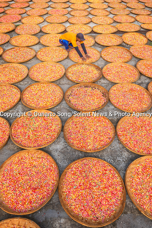 """Pictured: A worker moves among hundreds of bamboo trays filled with large, colourful garlic-flavoured crackers.   The Indonesian delicacies are steamed before being cooked and thinly sliced and left in the sun to dry.<br /> <br /> The photos were taken in the small village of Kenanga just outside Indramayu City in Indonesia by travel and landscape photographer Gunarto Song.   The 44-year-old, from Jakarta, said: """"The locals make crackers every day. They wrap the dough in banana leaves before steaming them for three to four hours.   SEE OUR COPY FOR DETAILS<br /> <br /> Please byline: Gunarto Song/Solent News<br /> <br /> © Gunarto Song/Solent News & Photo Agency<br /> UK +44 (0) 2380 458800"""