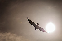 With wings spread wide, a Turkey vulture soars past the late afternoon sun above a neighborhood park.