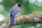 Violaceous Jay (Cyanocorax violaceus). Hato La Aurora Reserve, Los Llanos, Colombia.