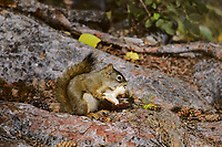 Red Squirrel eating mushroom.  Northern Rockies.  Fall.