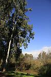 Israel, Sharon region. Eucalyptus trees by the Yarkon river at Hayarkon National Park