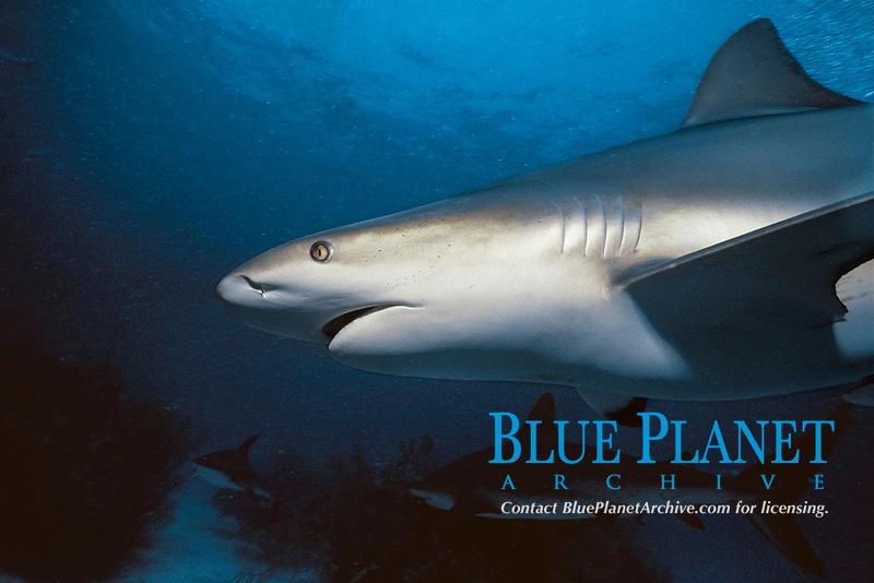 Caribbean Reef Shark (Carcharhinus perezii), Bahamas - Caribbean Sea.