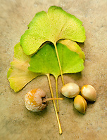 Ginkgo biloba Fall Leaves with Seeds&#xA;&#xA;<br />
