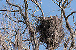 Brazoria County, Damon, Texas; an adult bald eagle perched in it's nest in the top branches of a large, live oak tree, in early morning sunlight, against a clear blue sky