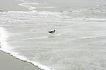 Sanderling On Orond Beach